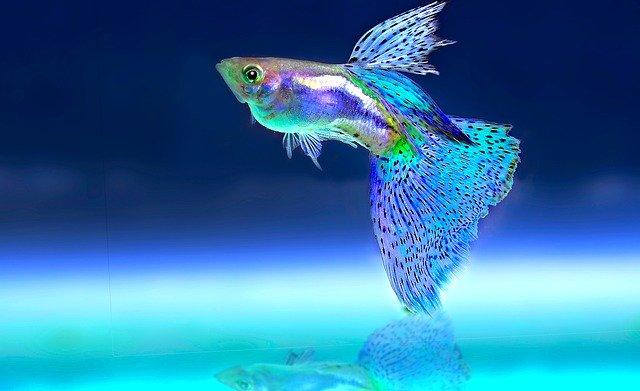 Farebná, neónovo svietiaca ryba v akváriu.jpg